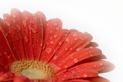 Gerber daisy Stock Photos