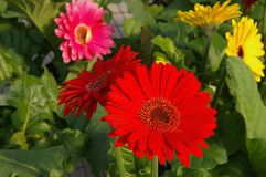 GERBER DAISY. Colorful GERBER DAISYS Stock Image