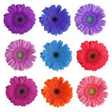 Gerber Daisy. Isolated on White Background royalty free stock photo