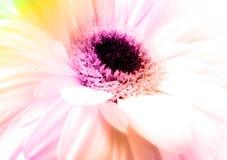 Gerber Daisy. Macro of an white gerber daisy flower royalty free stock image