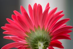 Gerber daisy Royalty Free Stock Images