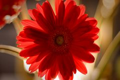Gerber daisy backlit. A red gerber daisy illuminated from the back Stock Image