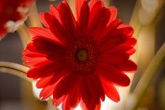 Gerber daisy backlit Stock Image