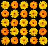 Gerber Daisy on Black. Yellow Gerber Daisy on a black background Royalty Free Stock Photography