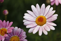 Gerber daisy blossoms. Details of beautiful pinkish Gerber daisy blossoms.  Genus:  Gerbera Royalty Free Stock Images