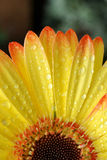 Gerber Daisy, close up Royalty Free Stock Photos