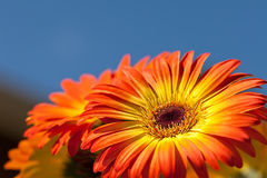 Gerber Daisy Royalty Free Stock Photography