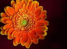 Gerber daisy closeup Royalty Free Stock Photos