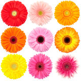 Gerber daisy collection. Gerber daisy flowers collection isolated on white royalty free stock photography