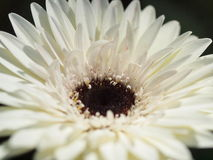 Gerber Daisy, Dallas Arboretum, Texas. White Gerber Daisy at Dallas Arboretum stock photo