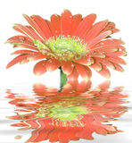 Gerber daisy flower Royalty Free Stock Photo