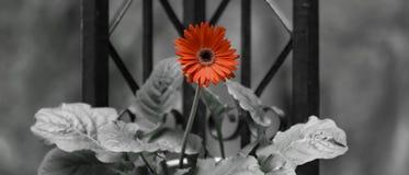 Gerber Daisy Flower met pop van kleur stock foto
