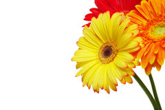 Gerber daisy flowers Royalty Free Stock Image