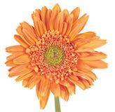 Gerber Daisy (Gerbera) Stock Image