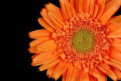 Gerber Daisy, Gerbera Royalty Free Stock Photo