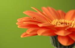 Gerber daisy on green Royalty Free Stock Photography