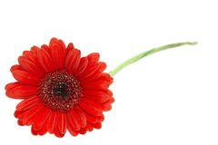Gerber Daisy isolated on white background Royalty Free Stock Photography