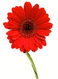 Gerber Daisy isolated on white background Stock Photo