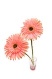 Gerber daisy isolated on the white background Royalty Free Stock Photo