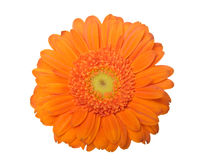 Gerber daisy isolated on white background Stock Images