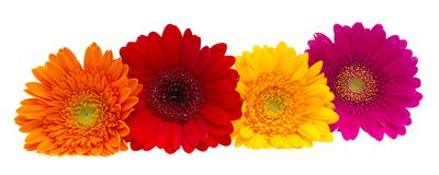 Gerber Daisy isolated on white background Royalty Free Stock Images