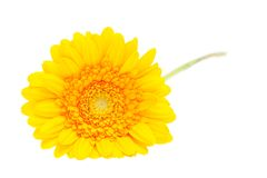 Gerber Daisy isolated on white background Royalty Free Stock Photos