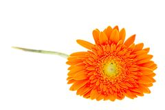 Gerber Daisy isolated on white background Stock Photography