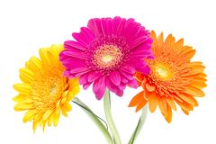 Gerber Daisy isolated on white background Royalty Free Stock Photo