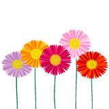 Gerber Daisy isolated on white background Stock Image