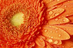 Gerber daisy macro Royalty Free Stock Photo
