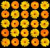 Gerber Daisy op Zwarte Royalty-vrije Stock Fotografie