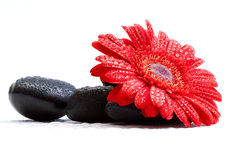 Gerber daisy and pebbles. Red gerber daisy and pebbles isolated on white - spa concept royalty free stock images