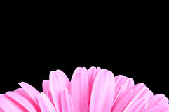 Gerber Daisy Pedals Royalty Free Stock Photography