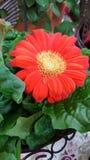 Gerber Daisy Planter Royaltyfria Foton
