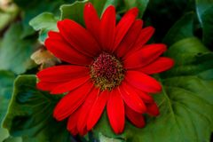 Gerber Daisy. A Red Gerber Daisy royalty free stock images