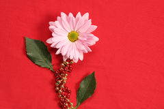 Gerber Daisy on Red. Fantastic Gerber Daisy on red background with festive gold and red beads. Great use for background in a valentines day or mothers day design Royalty Free Stock Photo