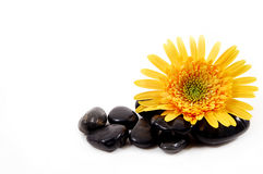 Gerber Daisy and Rocks. Spa setting of a yellow gerber daisy and obsidian rocks Stock Image