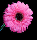 Gerber Daisy Standing Tall Royalty Free Stock Images