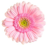 Gerber Daisy. On white background royalty free stock photos