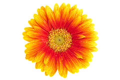 Gerber Daisy With Dew, Isolated Stock Photo