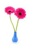 Gerber dois no vaso azul Fotografia de Stock Royalty Free