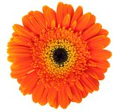 Gerber flower Royalty Free Stock Photos