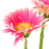 Gerber flower Royalty Free Stock Images