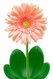 Gerber flower Royalty Free Stock Photography