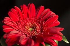 Gerber flower on a black velvet background Royalty Free Stock Photos