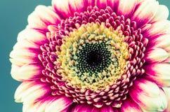 Gerber flower detail Stock Images