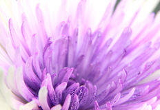 Gerber flower Stock Photography