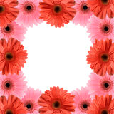 Gerber flower frame Royalty Free Stock Photo