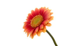 Gerber flower isolated Stock Image