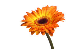 Free Gerber Flower On A White Stock Images - 19178904